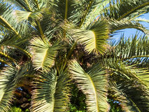 Palm tree against blue sky Royalty Free Stock Photography