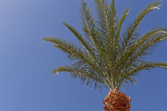 Palm tree against blue sky Stock Photos