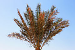 Palm tree against blue sky. Tropical nature Royalty Free Stock Image