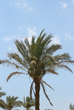 Palm tree against blue sky. Tropical nature Stock Image