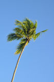 Palm tree against blue tropical sky in the breeze. Tropical palm tree against blue sky stock images