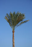 Palm tree against clear blue sky Royalty Free Stock Photo
