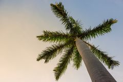 Palm tree against the evening sky, bottom view. Tropical theme. Stock Images