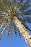 Palm Tree Against a Perfect Blue Sky. Looking up at the fronds of a palm tree against a perfect blue sky Stock Images