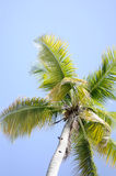 Palm Tree against the Sky. Tall palm tree against a beautiful blue Carribean Sky Stock Images