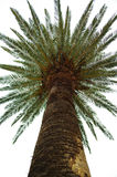 Palm. Tree against the sky view from below Royalty Free Stock Photos