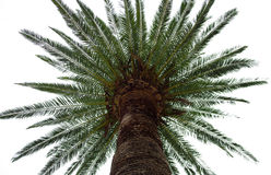 Palm. Tree against the sky view from below Royalty Free Stock Photography