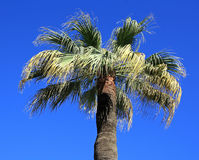 Palm tree in Albania. Albania. The top of a green palm tree against a blue sky on a summer day Stock Photography
