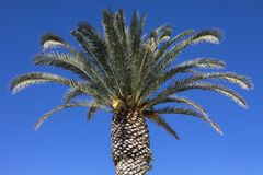 Palm Tree in the Algarve Royalty Free Stock Photo