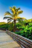 Palm tree along a boardwalk at Jupiter Island, Florida. Stock Photography