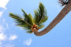 Palm tree along the caribbean sea Royalty Free Stock Photography