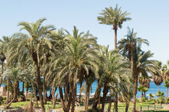 Palm tree in aqaba coast Stock Images