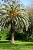 Palm tree - Arecaceae Stock Image
