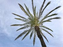 Palm Tree, Arecales, Date Palm, Tree Royalty Free Stock Image