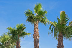 The palm tree Royalty Free Stock Image