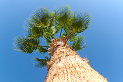 Palm tree on a background of blue sky, view from below Stock Photos