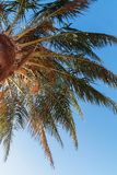 Palm tree on a background of blue sky, view from below Royalty Free Stock Photos