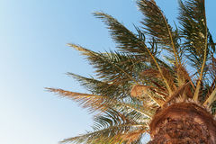 Palm tree on a background of blue sky, view from below Royalty Free Stock Image