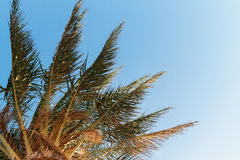 palm tree on a background of blue sky, view from below Stock Image