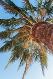 palm tree on a background of blue sky, view from below Royalty Free Stock Photo