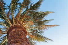 palm tree on a background of blue sky, view from below Royalty Free Stock Images