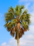 Palm Tree Background Florida Royalty Free Stock Image