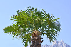 The palm tree Royalty Free Stock Photography