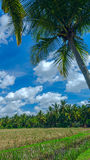 Palm tree on the background of rice field. Near town Ubud on Bali in summer sunny day Stock Image