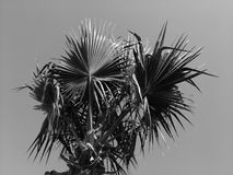Palm tree on the background of the sky, lit by the sun. Black and white. Palm tree on the background of the sky, lit by the sun. Green arrows of leaves ascending Stock Images