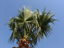 Palm tree on the background of the sky, lit by the sun. Green arrows of leaves ascending skyward, blue sky. Southern country, warm climate, exotic nature, a Stock Image