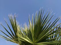 Palm tree on the background of the sky, lit by the sun. Green arrows of leaves ascending skyward, blue sky. Southern country, warm climate, exotic nature, a Stock Images