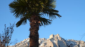 Palm tree on a background of snow-capped mountains. And blue sky stock video