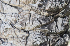 Palm tree. Background texture of tree bark. Royalty Free Stock Photography
