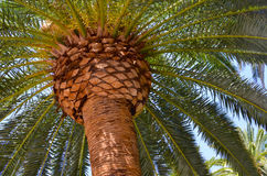 Palm Tree Background. An upward view of a palm tree, with its fronds spread wide Stock Photo