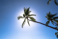 Palm tree in backlight, Hawaii Stock Image