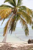 A palm tree in the bahamas. With the ocean behind it and coconuts floating attached to a net Royalty Free Stock Photos
