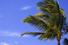 Palm Tree in Balmy Breeze. You can almost hear the rustle of palm tree fronds in the tropical breeze Royalty Free Stock Photo