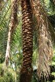 Palm tree bark Royalty Free Stock Photography