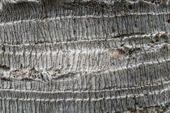Palm tree bark texture. Royalty Free Stock Photo