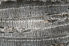 Palm tree bark texture. Palm tree bark background texture Royalty Free Stock Photo