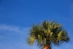 Palm Tree. A palm tree basks in the afternoon Florida sun beneath a partly cloudy sky royalty free stock photography