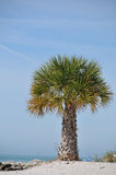 Palm tree at the beach Royalty Free Stock Photo