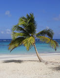 Palm tree at the beach. Palm tree at the Bavaro beach Stock Photography
