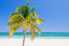 Palm tree on a beach, Cayo Levisa; Cuba Royalty Free Stock Photography