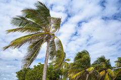 Palm tree on a beach in Guadeloupe Stock Images