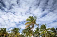 Palm tree on a beach in Guadeloupe Royalty Free Stock Photo