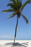 Palm tree on the beach of Morondava Royalty Free Stock Images
