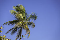 Palm tree on the beach in Naples, Florida Royalty Free Stock Images