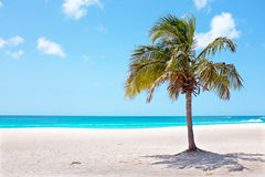 Palm tree on the beach at Palm Beach on Aruba island in the Cari. Bbean Royalty Free Stock Images