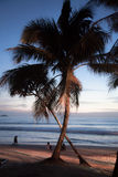 Palm tree on the beach . Palm tree on a sandy beach on the background of evening sea stock photo